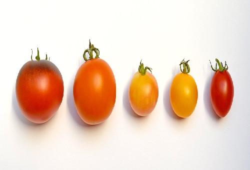 由来 トマト 品種