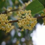 金木犀の花の特徴や花言葉の意味や由来とは?