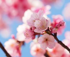 由来 桜 名前
