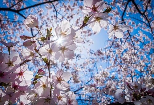 由来 桜 種類