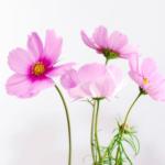 コスモスの花言葉の由来!「秋桜」と書くのはなぜ!?