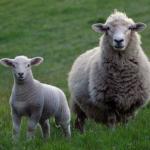 羊の漢字の由来は?数えると眠れると言われる理由は!?