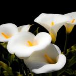 カラーの名前や花言葉の由来とは!?誕生花は?