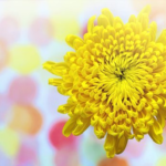 菊の花の花言葉の由来や葬式で使われる理由とは!?